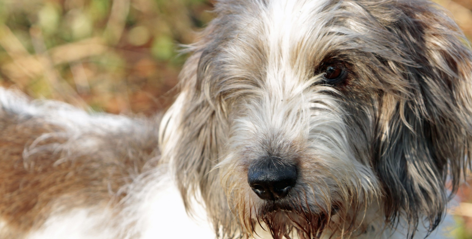 The Clancy PBGV Blog